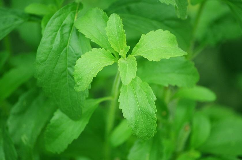 A Stevia a természetes édesítők királya
